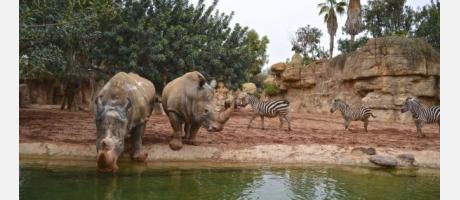 Cebras y rinocerontes