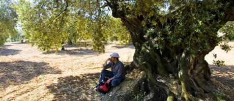 Visita a olivos milenarios con Animaestrat