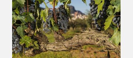 Vino y aceite Vilafames - viñas
