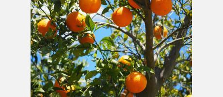 Ruta de la naranja en Carcaixent