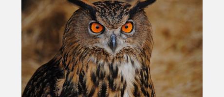 Birdwatching invernal-Búho real
