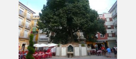Olmo Navajas Árbol España