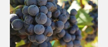 Uvas tintas en Castellón