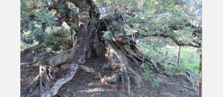 Algarrobo finalista a árbol español del año.