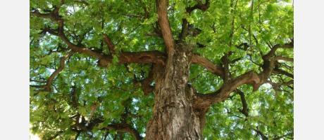 Árboles milenarios 3