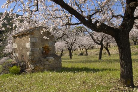 Ruta los almendros en flor en Alcalalí