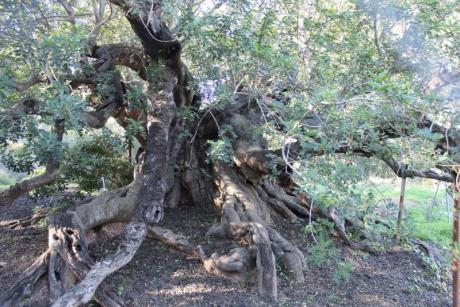 Ruta Árboles Singulares por L'Alfàs del Pi